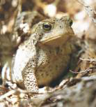 Toad - Photo by Ulli Diemer