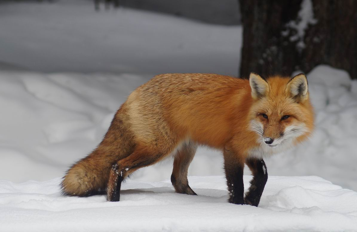 Red Fox, Algonquin Park. Photo by Miriam Garfinkle